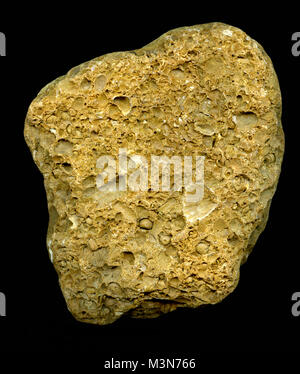 Detail of marine bryozoan fossils containing multiple specimens - Stock Image