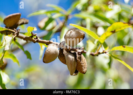 Ripe almond nuts in shell growing on almond tree close up - Stock Image