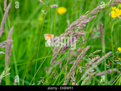 Small heath butterfly on Yorkshire fog Holcus lanatus, Cressbrook Dale NNR Peak District National Park June 2014 - Stock Image