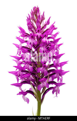 Wild and rare orchid hybrid Anacamptis x simorrensis inflorescence isolated against a white background. It's an hybrid between Pyramidal Orchid (Anaca - Stock Image