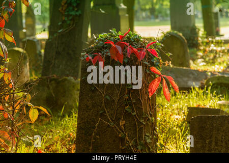 Vine on old gravestone - Stock Image