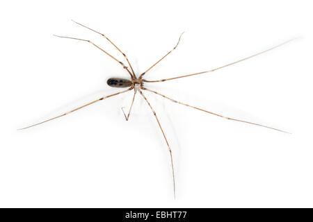 Female Cellar spider (Pholcus phalangioides), on a white background, part of the famile Pholcidae, Cellar or Daddylongleg - Stock Image