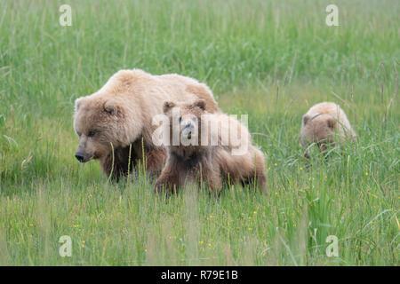 Alaska brown bear with cubs in grassland at Lake Clark National Park Alaska - Stock Image