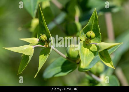 Kreuzblättrige Wolfsmilch als Heilpflanze für Naturmedizin und Pflanzenheilkunde - Stock Image