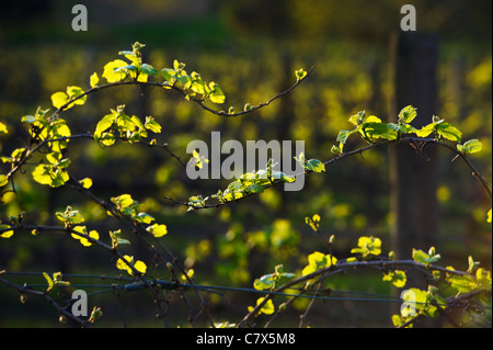 Young grapevines, Hunter Valley New South Wales Australia - Stock Image