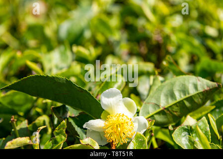 Horizontal close up of tea flower growing on a plantation in Munnar, India. - Stock Image