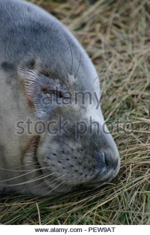A grey seal pup asleep in some grass. - Stock Image