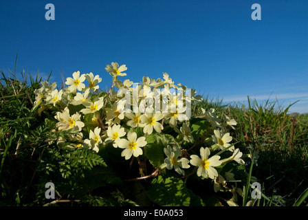 A Primrose (Primula vulgaris) flowering in spring in the British countryside - Stock Image
