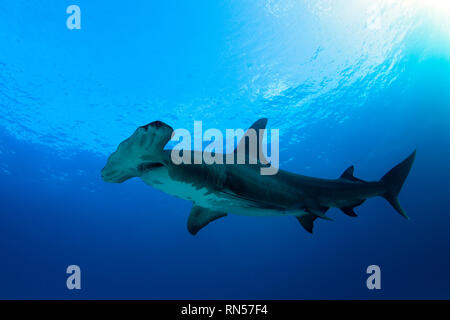 Great Hammerhead Shark (Sphyrna mokarran) against Blue Water and Surface. Tiger Beach, Bahamas - Stock Image