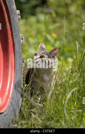 Tabby cat standing by a tractor tyre - Stock Image