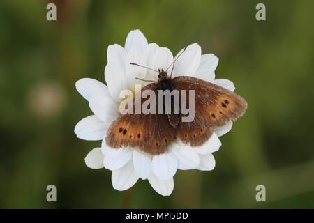 Mountain Ringlet (Erebia epiphron) - Stock Image