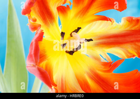 opening red parrot tulip still life - radiant new life - close up of perianth, style and anthers - nurture  Jane - Stock Image