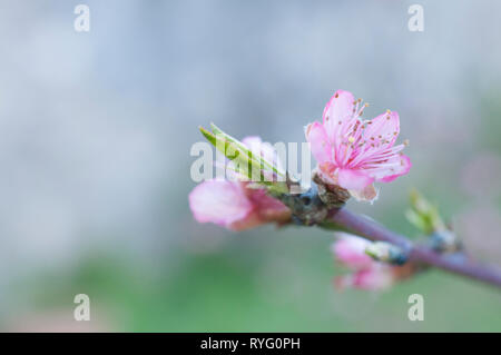 Peach flower on blooming branch - Stock Image