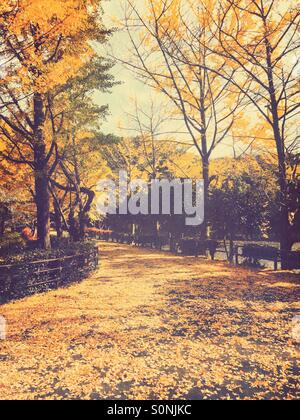Path with Gingko Leaves Fall Foliage - Jogging path at park covered with yellow leaves fallen from Gingko trees. - Stock Image