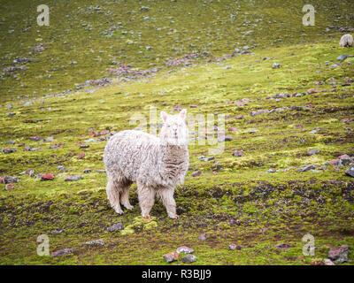 View of an alpaca around the Rainbox Mountain, Vinicunca - Stock Image