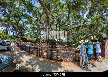 People viewing The Baranoff Oak tree in Baranoff Park reportedly the oldest living Live Oak tree in Pinellas County in Safety Harbor Florida - Stock Image