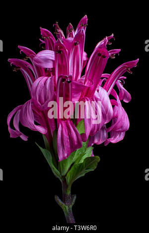 justicia carnea also known as flamingo flower - Stock Image
