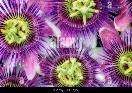 Passion flowers. - Stock Image
