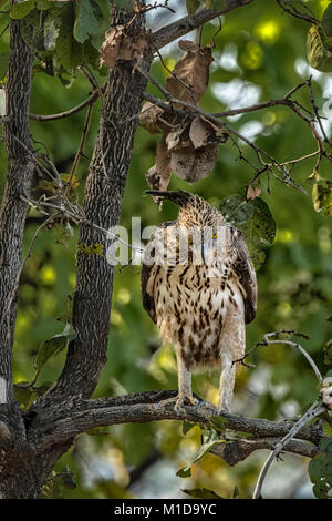 Adult wild Changeable Hawk Eagle or Crested Hawk-Eagle, Nisaetus cirrhatus, perched on a tree branch, Bandhavgarh - Stock Image