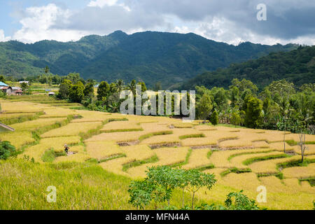 A man walks on a terraced paddy field near Ende, Flores Island (East Nusa Tenggara), Indonesia. - Stock Image