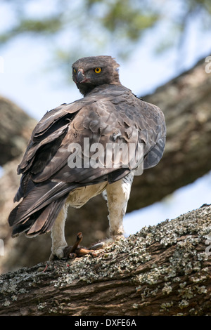 Martial Eagle (Polemaetus bellicosus) Perched in a tree after a kill - Stock Image