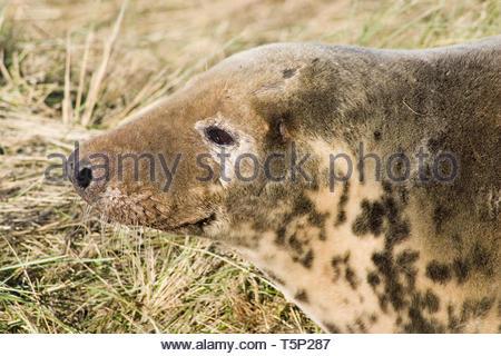 Female grey seal head shot - Stock Image