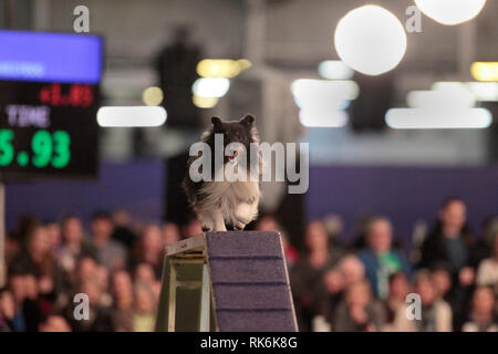 New York, USA. 9th Feb 2019. Boss, A Shetland Sheepdog, competing in the preliminaries of the Westminster Kennel Club's Master's Agility Championship. Credit: Adam Stoltman/Alamy Live News - Stock Image