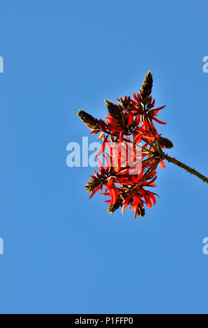 Coral Tree Blooms, Erythrina corallodendron, Mission Viejo,  CA 120208_70565 - Stock Image