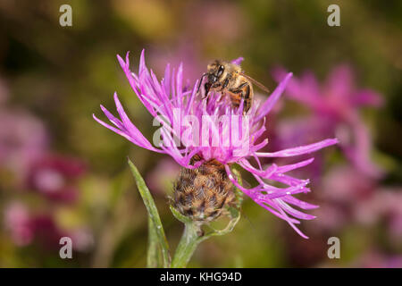 Honeybee on Common Knapweed flower - Stock Image