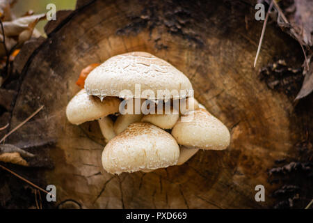 Toxic white and brown mushrooms growing on the faded tree - Stock Image