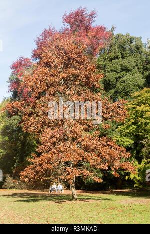 Autumn colours National arboretum, Westonbirt arboretum, Gloucestershire, England, UK - Stock Image