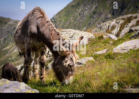 Donkey eating grass in the mountains, view with many stones, Carpathian Mountains, Romania - Stock Image