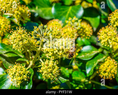 Hover fly feeding on flowering Common Ivy (Hedera helix) plant - France. - Stock Image