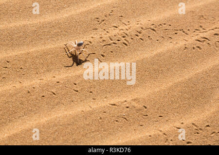 Africa, Namibia, Swakopmund. Dancing white lady spider and tracks. Credit as: Wendy Kaveney / Jaynes Gallery / DanitaDelimont.com - Stock Image