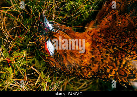 North Yorkshire, Engalnd, UK | A Red Grouse (Lagopus lagopus scotica) that has been shot during a driven grouse shoot on North Yorkshire moorland - Stock Image
