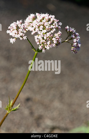 Selective focus image of a blooming Valeriana dioica. - Stock Image