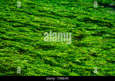 River stream with emerald green water and green water plants, nature background - Stock Image