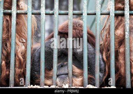 Sad looking male Sumatran orangutan trapped in a cage at Bukittinggi zoo in Sumatra, Indonesia - Stock Image