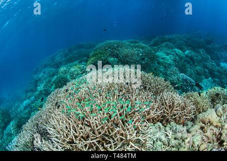 Green chromis fish (Chromis viridis) inhabit staghorn coral (Acropora sp.). Bunaken Island, Indonesia - Stock Image