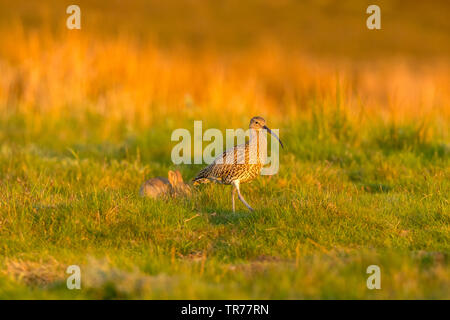 Curlew (Scientific name: Numenius arquata) Adult curlew in the Yorkshire Dales, UK , at daybreak with rabbit in the background.Facing right. Landscape - Stock Image