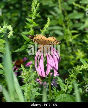 Great Spangled Fritillary Butterfly, Speyeria cybele, on Purple Coneflower,Echinacea purpurea - Stock Image