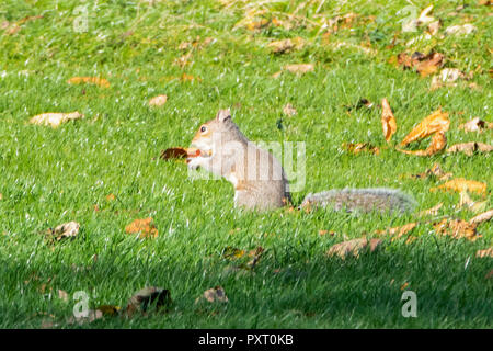 Leeds, UK  24 October 2018. A squirrel busy collecting conkers on a beautiful autumn day in Roundhay Park in Leeds. Credit: James Copeland/Alamy Live News - Stock Image