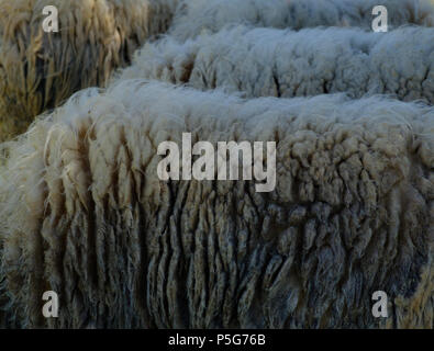 Close up of Greek Mountain Sheep Wool, Rare breed, Saronida, Greece. - Stock Image