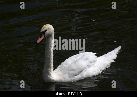 Young mute swan one of last years cygnets swimming on the Bristol Avon at Bradford on Avon - Stock Image