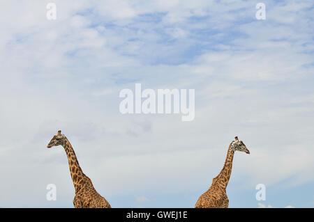 Two giraffes walking in the clouds. Maasai Mara, Kenya. - Stock Image