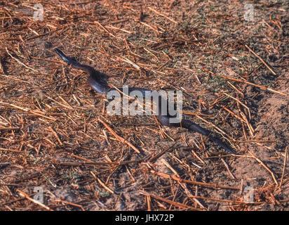 Indian Cobra or Spectacled Cobra,(Naja naja), Keoladeo Ghana National Park, Bharatpur, Rajasthan, India - Stock Image