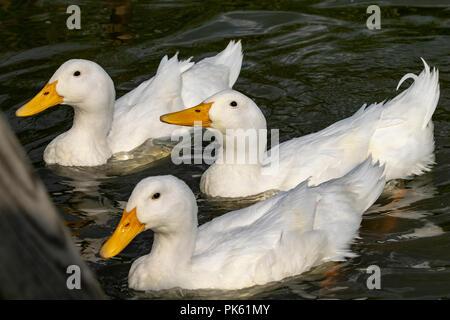 Pekin ducks (Anas platyrhynchos domesticus) swimming on a lake, also termed heavy ducks, White Pekin, American Pekin, Long Island Duck - Stock Image