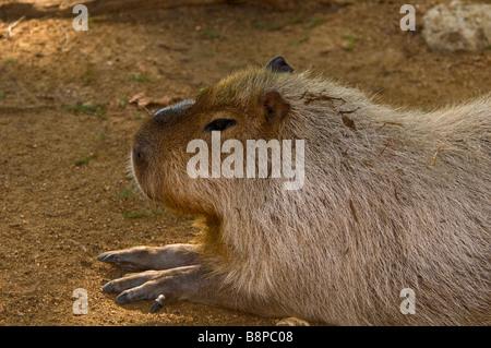 Capybara full body profile of the world's largest rodent at San Antonio Zoo Texas - Stock Image