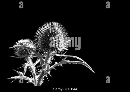 Flower buds of plumeless thistle on black background. Carduus. Artistic melancholy detail of spring plant silhouette. Spiny leaves. Fragile beauty. - Stock Image