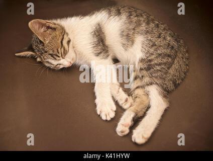 Sleeping kitten - Stock Image